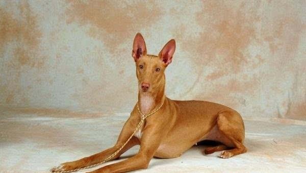 no5,法老王猎犬:价格高达6500美元,由于它的运动性格,其智能化程度高