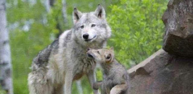 母狼舍命护幼崽老猎手下留情,多年后狼群全家报恩