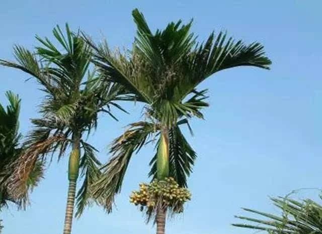 高高的树上结槟榔图/网络