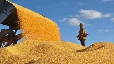 国家对玉米市场做出四大调整,2017渭南人种玉米不赔钱图片