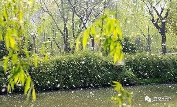 杨树和柳树,春末夏初都会飘絮,同样雪白,同是轻柔一朵.