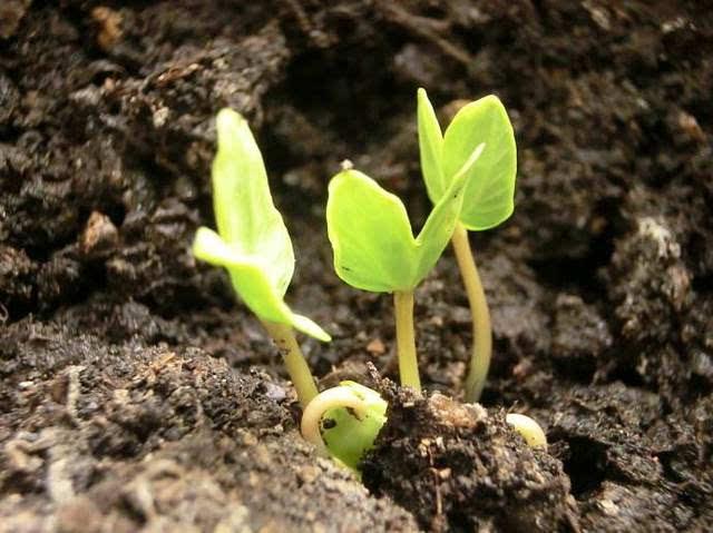 温度保持在25~30度是最合适的,一般在这种情况下,种子4~7天就会发芽