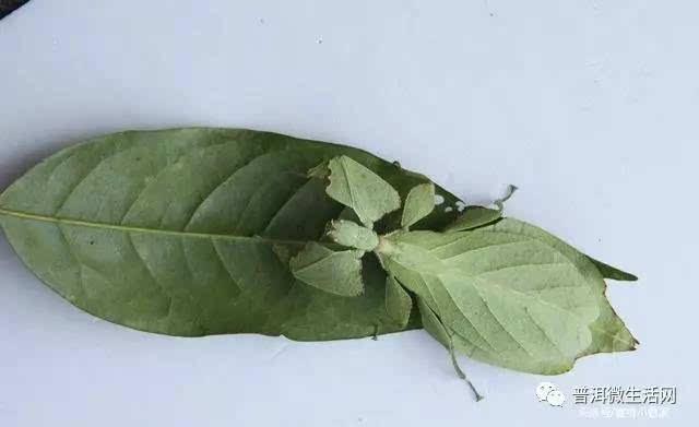蒋先生在云南普洱小熊猫庄园度假时,发现一只外形极度酷似树叶的虫子.图片