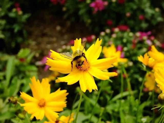 就这样,小蜜蜂们不怕困难,历经千辛万苦,到了玫瑰花地,它们一起采了一图片
