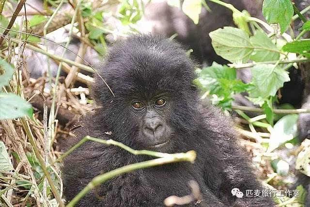 观看时间只有1个小时,我们依依不舍的离开了这些可爱的大猩猩们.
