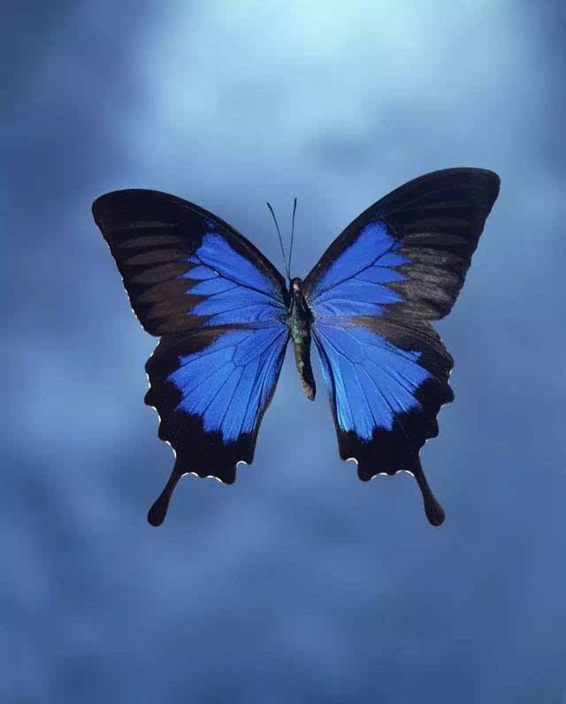 下面再简单举一个例子:画一只山蓝蝴蝶.图片