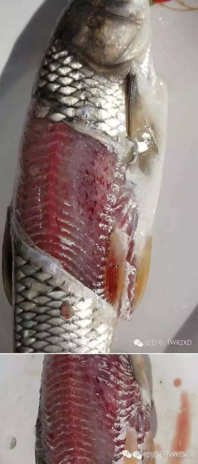 草鱼解剖结构图