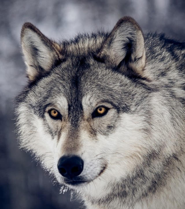 2013年初,格林重返狼群两年后,回到城市的李微漪突然听说格林在草原被图片