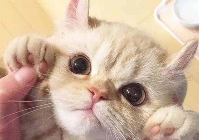 布偶猫,英短猫,美短猫,加菲猫,折耳猫,波斯猫.