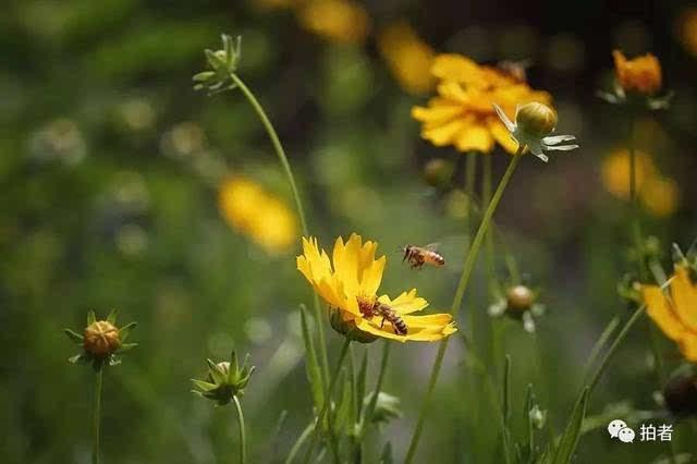 两只小蜜蜂飞到花丛中采蜜.摄影/新京报记者侯少卿图片