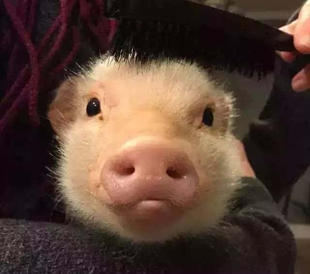 ins爆红粉红可爱迷你猪~不相信你的表情包里没有它!