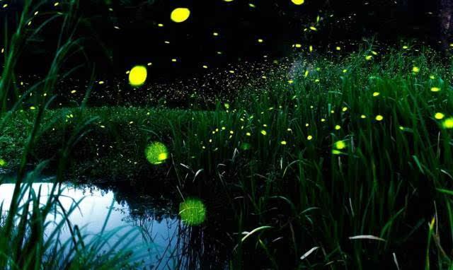 萤火虫夜间活动,在天黑后一小时最为活跃,卵,幼虫和蛹也往往能发光