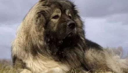 小时候呆萌可爱的高加索犬,长大后却敢斗熊斗狮.
