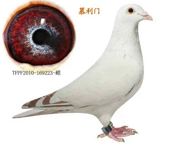 鸟类鸽动物鸽子图示鸟医院640_558大连有教学兔子图片