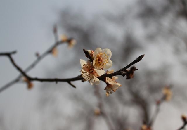 有展示梅花盆景的