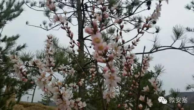 一树桃花开在哪可下载.