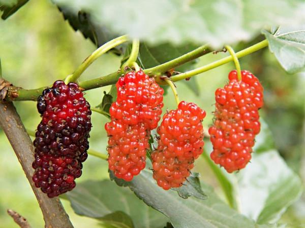 据说只有70后,80后才懂的广西野果,你吃过几个?图片