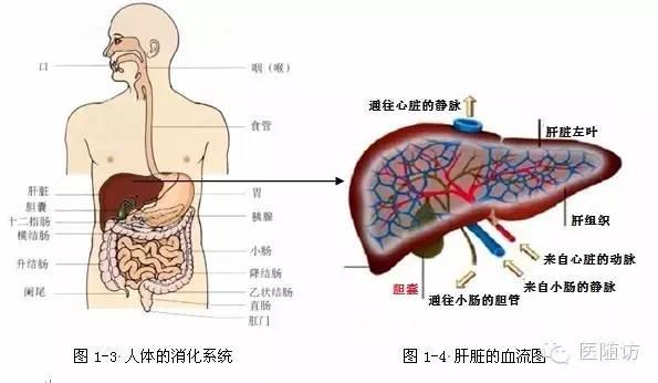 肝小叶是肝的基本结构单位