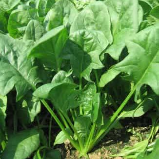 很多人认为,吃菠菜能够补铁补血?