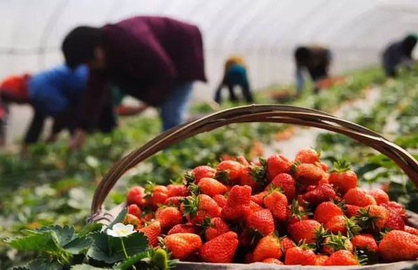 沈阳玩法采摘草莓_摘大班去哪好_攻略采摘旅草莓独木桥游戏草莓图片