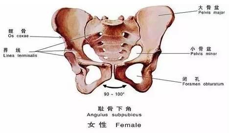 是支撑身体的结构,同时保护子宫和膀胱