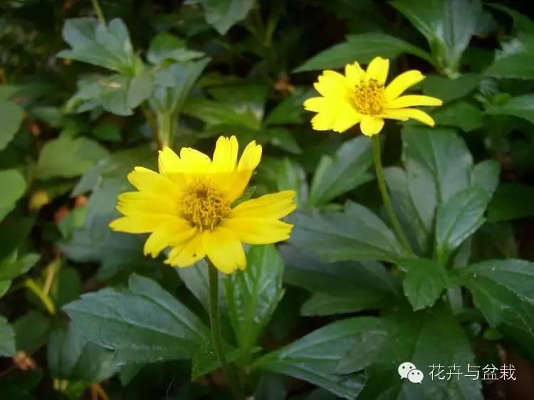 fortunei(seem)hemsl.]分布到越南,老挝外,其他各种均为我国所特有.