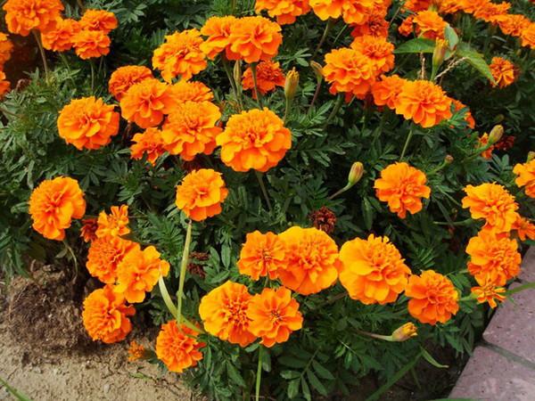 菊科万寿菊属,别名:黄菊花,五瓣莲,老来红,臭菊花,孔雀菊,小万寿菊