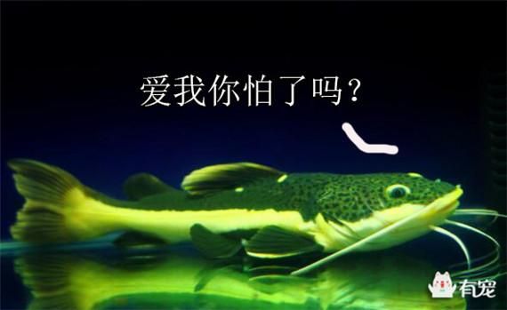 养鱼风水学 招财猫 鱼 招财猫鱼