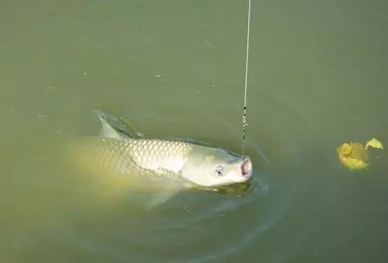 样的教程适口样的鱼上钩qmik钓饵图片