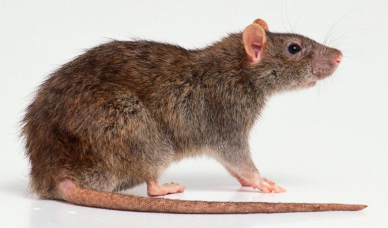 动物头像 可爱鼠