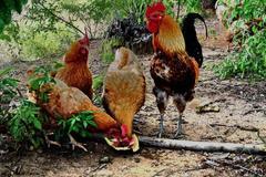 4只鸡飞上天了,但不要买了