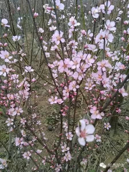 3月26日鄢陵浪漫美好樱花一日游平安归来