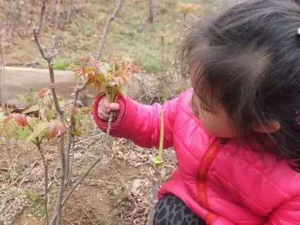 香椿树嫩芽萌出