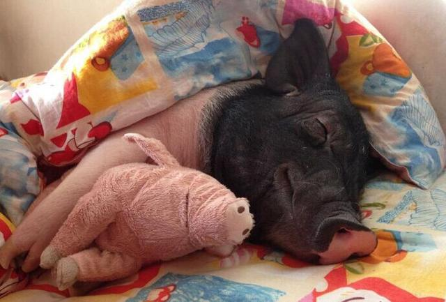 宠物猪并同一块睡觉