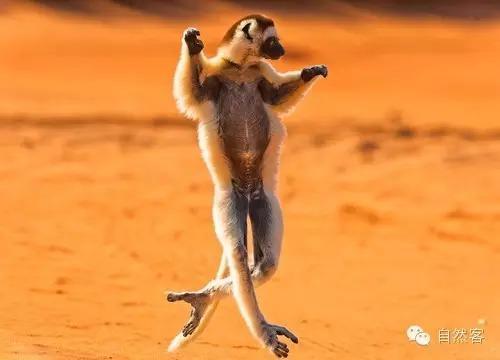 可爱的鼠狐猴_小可爱:马达加斯加 的狐猴