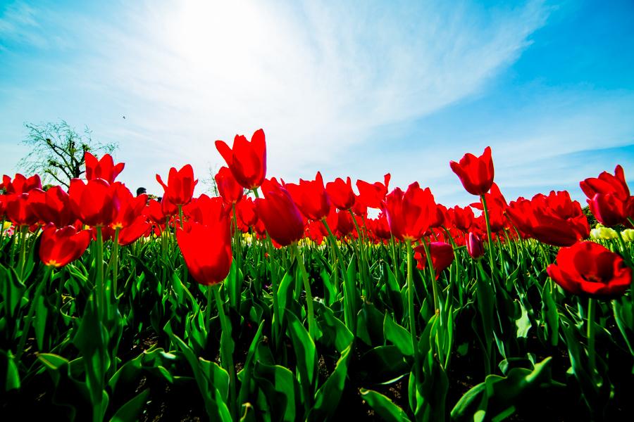这个春天,怎么能错过鲜花港的郁金香花海 - 潘昶永 - 往事并不如烟