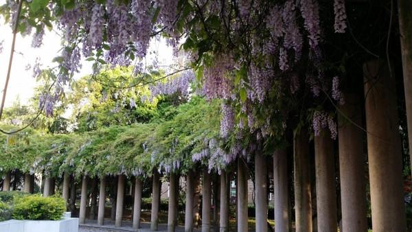 常青藤小区的紫藤架