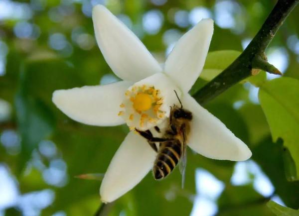 待它花开时,小蜜蜂也会迫不及待的一拥而上争相采蜜.图片
