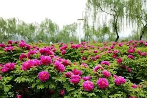 牡丹花到了全盛时期 快到洛阳城走一遭