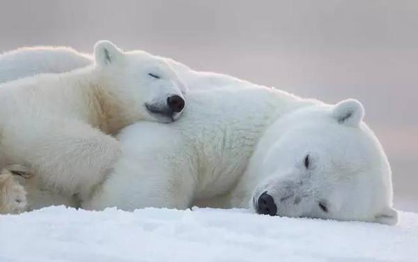(〃〃)对北极熊网球的萌毫无抵抗力长颈鹿宝宝游戏图片