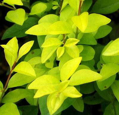 红叶石楠,金森女贞,红花继木,金叶黄杨,