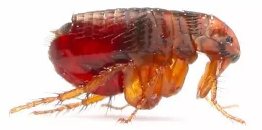 蚊子 朱宣咸/对于寄生虫,我个人的态度是:寄生人类的予以消灭,但最好保留...