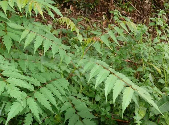 南酸枣的羽状复叶.图片
