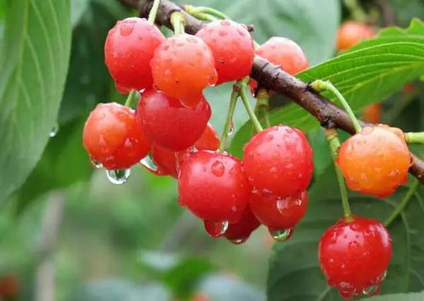 5520,红了樱桃绿了芭蕉(原创) - 春风化雨 - 诗人-春风化雨的博客