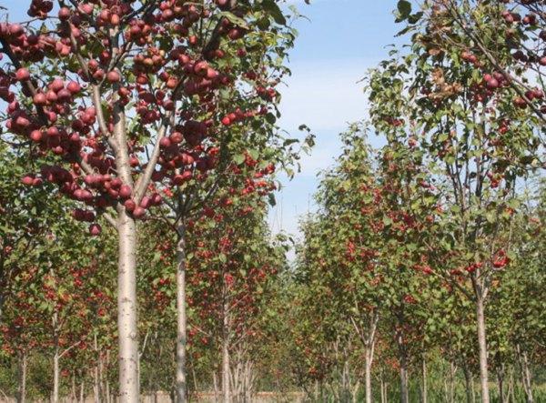 木瓜海棠的繁殖可用播种