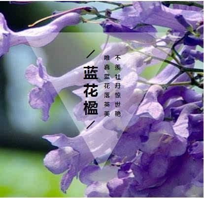 海边,那一树紫色的花 - 蓝天白云 - 蓝天白云的博客