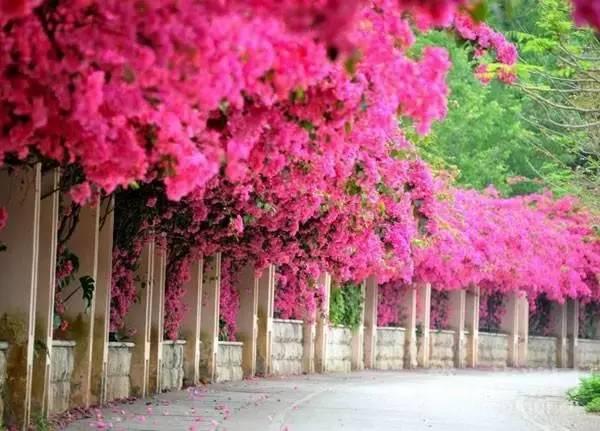 角梅盛开,不输柳州24万紫荆花