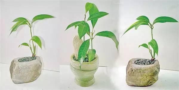 芒果吃完核别扔,教你种出芒果树 - 格格 - 格格的博客