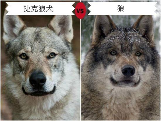 山脉狄莫拜狼和德国牧羊犬为父母本杂交培育而成.它的毛色和毛的纹