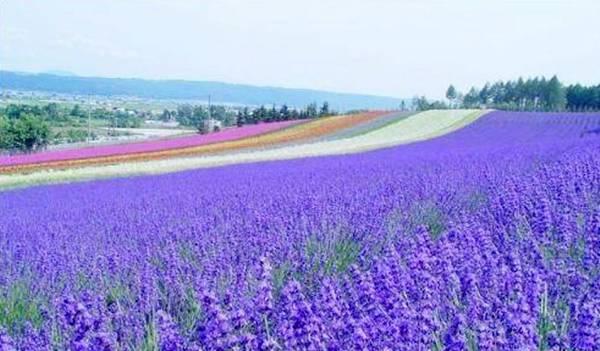 清远薰衣草世界,能让您亲睹风靡世界香草女王的美丽风韵,在薰衣草森林图片
